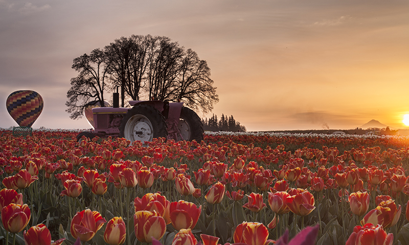 A Tractor in The Tulip Field At Sunset Landscape Photo 20 NV Holden Photography