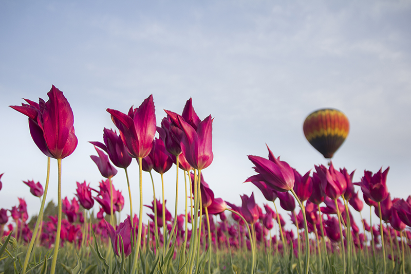 Pink Flowers And A Hot Air Balloon Landscape Photo 6 NV Holden Photography
