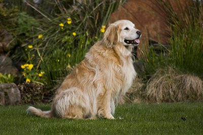 Golden Retriever Pet Photo NV Holden Photography